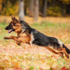 Zwyrodnienie stawów u psa